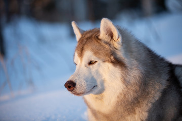 Beautiful, happy and free Siberian Husky dog lying on the snow path in the winter forest at golden sunset