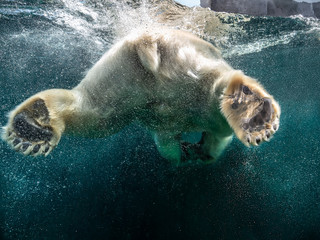Action closeup of polar bear with big paws swimming undersea with bubbles under the water surface in a wildlife zoo aquarium - Concept of dangerous climate change, endangered wild animals