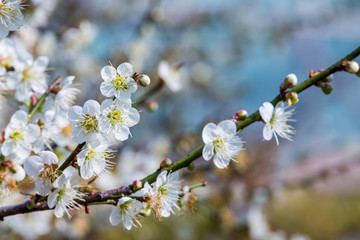 white flowers in spring, Plum blossom