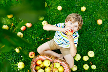 Beautiful blond happy kid boy picking and eating red apples on organic farm, autumn outdoors. Funny little preschool child having fun with helping and harvesting in domestic garden orchard.