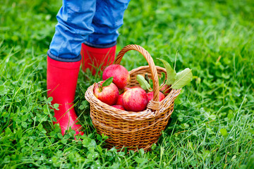 Closeup of basket with red apples and rubber boots on little kid, boy or girl on organic farm, autumn outdoors. Toddler child having fun with helping and harvesting.