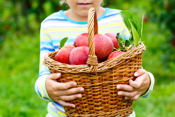 Close-up of basket holding by kid boy picking and eating red apples on organic farm, autumn outdoors. Funny little preschool child having fun with helping and harvesting.
