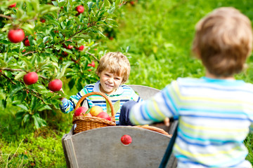 Two adorable happy little kids boys picking and eating red apples on organic farm, autumn outdoors. Funny little preschool children, siblings, twins and best friends having fun with helping harvesting