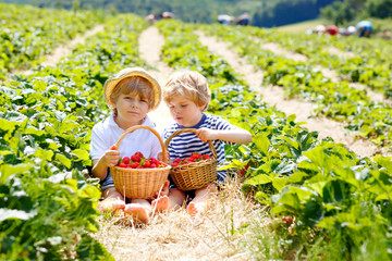 Two little sibling kids boys having fun on strawberry farm in summer. Children, cute twins eating healthy organic food, fresh berries as snack. Kids helping with harvest