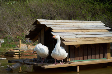 Two geese playing on a pond