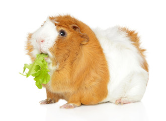 Cute Guinea pig chewing salad