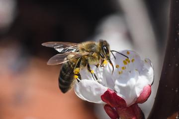 European honey bee( Apis mellifera) on apricot tree flower. Close up of honey bee on flower