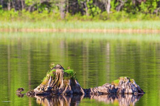 Mallard female on a tree stump