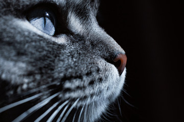 Close up view of beautiful cat's blue eye and nose. Gray cat on dark background. Beautiful textured fur. Macro. Pets concept. Animal portrait.