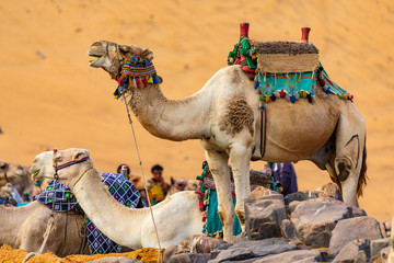 Kamele in der Wüste bei Assuan, Ägypten am Nil