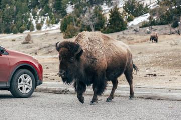 American bison walking by car on road