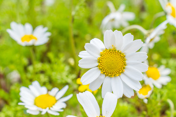 this is a capture for some  Margaret flower and u can see in the picture the lovely contrast between the green white and yellow colors