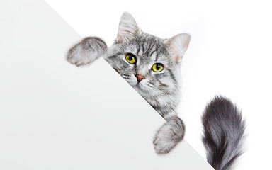 Funny gray tabby kitten showing placard with space for text. Lovely fluffy funny cat holding signboard on isolated background. Top of head of cat with paws up, peeking over a blank white banner.