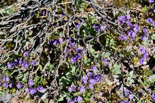 Purple Flowers Blooming Sonoran Desert Arizona Stock Photo And