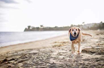 Portrait of Labrador Retriever walking at beach against clear sky