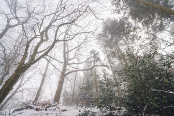 Misty forest in the winter with tall trees