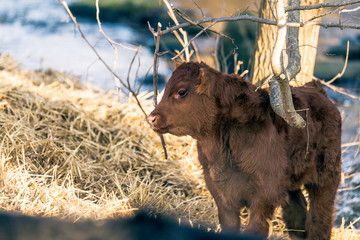 Young calf standing outdoors in the winter