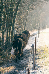Cattle walking along an electric fence