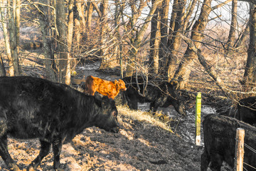 Cattle in a forest drinking of a small river
