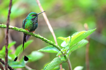 Nice hummingbird with forked tail, Booted Racket-tail