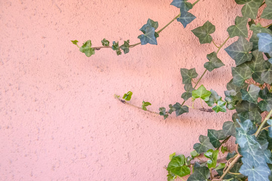 Background of pink stucco wall with ivy growing up one side - selective focus