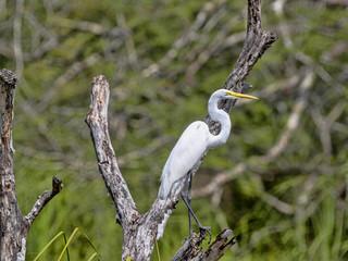 Great White Egret, Egretta alba, on Rio Dulce, Guatemala