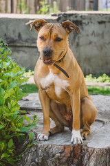 Young dog Staffordshire terrier sitting on a big stump portrait smiling