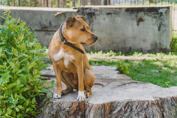 Young dog Staffordshire terrier sitting on a big stump profile portrait