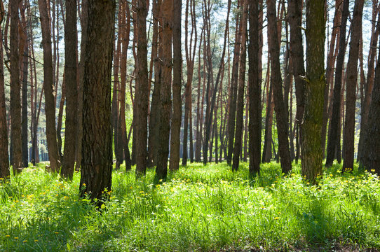 Beautiful pine forest in spring