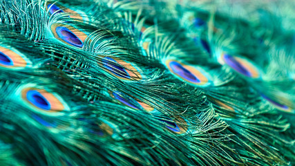 Beautiful feathers. Peacock tail close up.