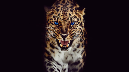 Photo sur Toile Panthère Leopard growls, isolated portrait on black background