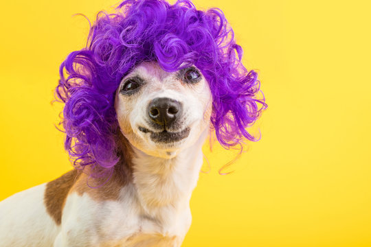 Confused dog face. weird funny smile. Curly lilac wig yellow background