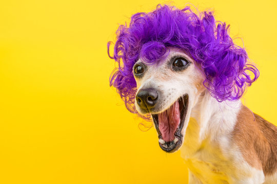 Surprised dog face in lilac curly wig. Yellow bright background. Emotional pet muzzle.