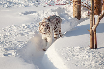 Wild white bengal tiger is walking on a white snow. Wall mural