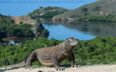 Walking komodo dragon, front view. Close up. Scientific name: Varanus Komodoensis. Indonesia. Rinca Island.