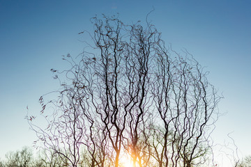 Sunny fantasy wavy bare branches of old huge tree isolated on blue sunset sky background. Horizontal color photography.