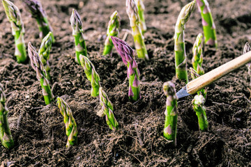 Grüner spargel wächst aus der erde Fotoväggar