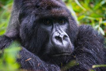 Rwanda, Virunga National Park, portrait of mountain gorilla