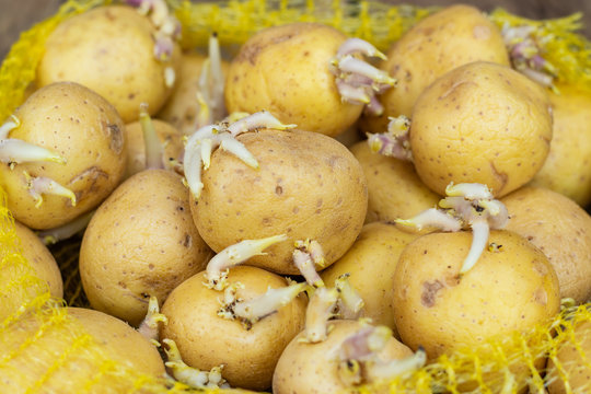 Closeup of seedlings of potatoes with sprouts in a plastic bag, prepared for planting on a wooden table.