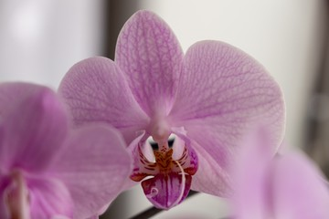 Orchid flower blooming. Slovakia
