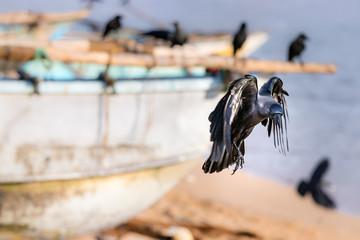 A black raven bird landing in the beach in Galle, Sri Lanka