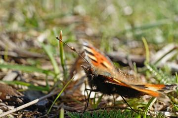 Schmetterlinge Deutschland - Kleiner Fuchs
