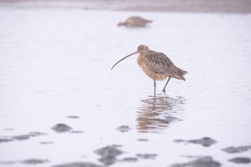 Long Billed Curlew  Numenius Americanus on a misty morning in the bay area estuary California