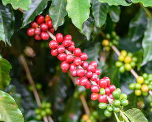 Coffee beans on twig
