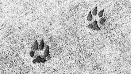 two animal paw prints embedded in cement in black and white with copy space