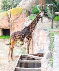 majestic giraffe eating hay at a tall feeding station in a rocky enclosure