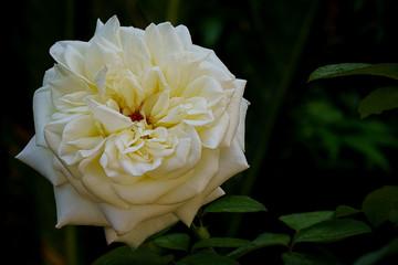 Single White Rose Flower Offset on Leafy Backgound