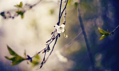 Branch of the blossoming cherry