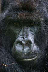 Rwanda, Virunga National Park, face of mountain gorilla