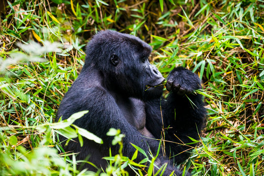 Rwanda, Virunga National Park, mountain gorilla eating plants